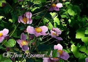 fall perennial pink anemone