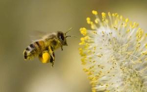 honeybee collecting pollen