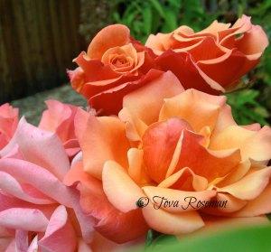 prune-roses