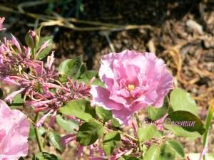 rose-contest-2