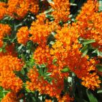 Butterfly weed perennial for the Monarch