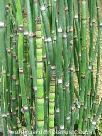 Organic Fungicide Equisetum photo