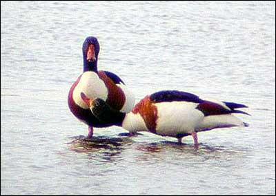Gay_ducks