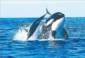 Orcadolphin
