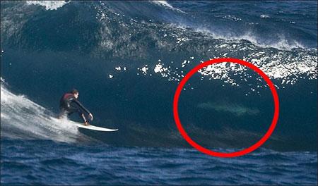 Surfer_shark