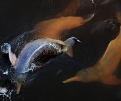 Pinkdolphins