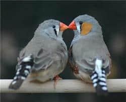 Gayfinches