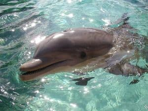 Bottlenose-dolphin-picture