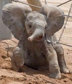 Babyelephant
