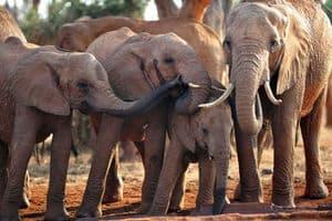 ElephantsUganda