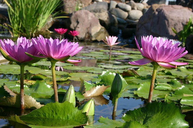Water Lilies The Jewels Of The Water Garden Town