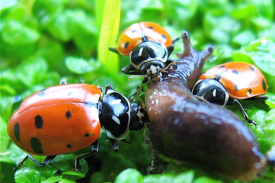 asian lady beetle, lady bug