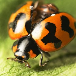 asian lady beetle, lady bug