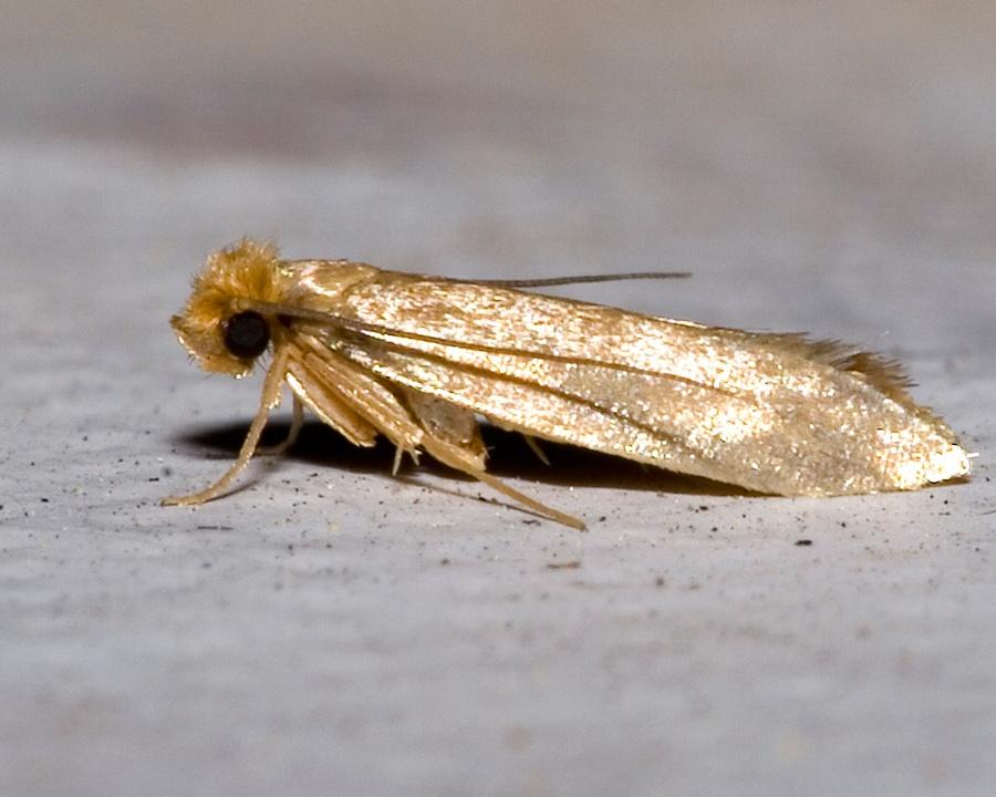 clothing moth, clothing moths, town and country, town and country pest solutions, pest, pests, rochester, syracuse, buffalo, rochester ny, syracuse ny, buffalo ny, new york, western ny, rochester exterminators, syracuse exterminators, buffalo exterminators, bed bugs, fabry, matt fabry, extermination, hire the pros, friendly, trustworthy