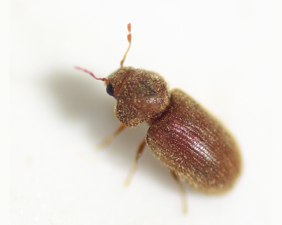 drugstore beetle, drugstore beetles, stored food pests, town and country, town and country pest solutions, pest, pests, rochester, syracuse, buffalo, rochester ny, syracuse ny, buffalo ny, new york, western ny, rochester exterminators, syracuse exterminators, buffalo exterminators, bed bugs, fabry, matt fabry, extermination, hire the pros, friendly, trustworthy