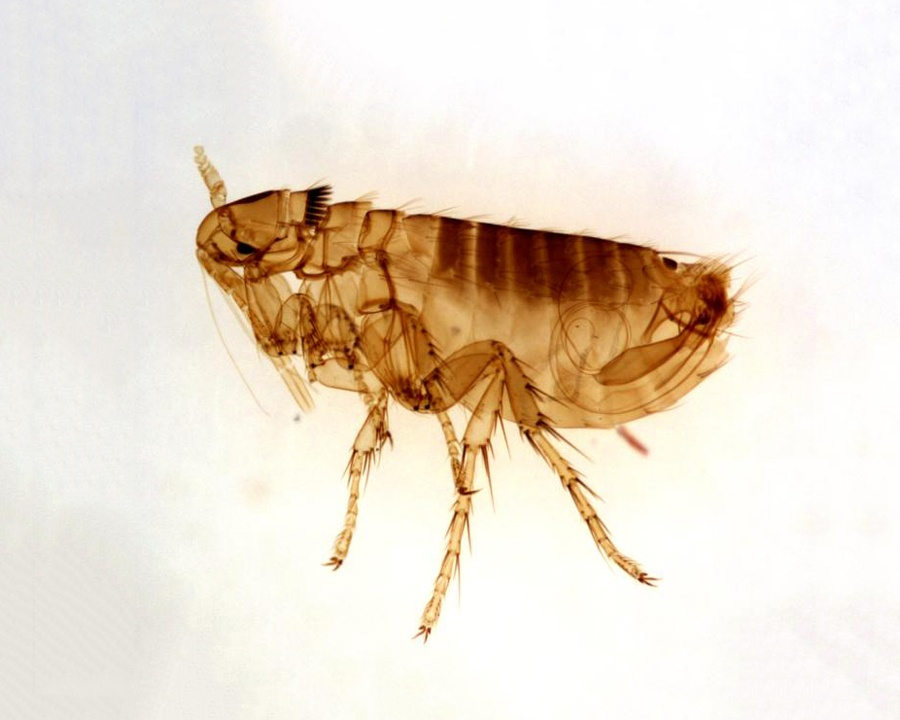 flea, fleas, town and country, town and country pest solutions, pest, pests, rochester, syracuse, buffalo, rochester ny, syracuse ny, buffalo ny, new york, western ny, rochester exterminators, syracuse exterminators, buffalo exterminators, bed bugs, fabry, matt fabry, extermination, hire the pros, friendly, trustworthy