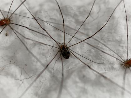 Thousands of Daddy Long Legs Recorded Huddling Next to Heating Vent