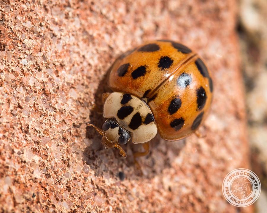 asian lady beetle, beetles, pupa, town and country, town and country pest solutions, pest, pests, rochester, syracuse, buffalo, rochester ny, syracuse ny, buffalo ny, new york, western ny, rochester exterminators, syracuse exterminators, buffalo exterminators, bed bugs, fabry, matt fabry, extermination, hire the pros, friendly, trustworthy