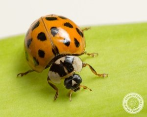 When Can New Yorker's Expect Another Massive Asian Lady Beetle Invasion Into Residential Homes?