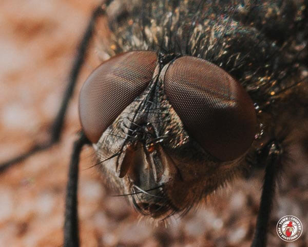 cluster fly, house fly, flies, pest