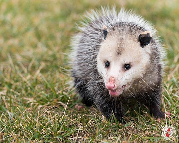 opossum, opossums, possum, possums, town and country, town and country pest solutions, pest, pests, rochester, syracuse, buffalo, rochester ny, syracuse ny, buffalo ny, new york, western ny, rochester exterminators, syracuse exterminators, buffalo exterminators, bed bugs, fabry, matt fabry, extermination, hire the pros, friendly, trustworthy