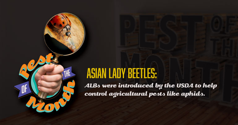 asian lady beetle, lady bug, pest of the month, town and country, town and country pest solutions, pest, pests, rochester, syracuse, buffalo, rochester ny, syracuse ny, buffalo ny, new york, western ny, rochester exterminators, syracuse exterminators, buffalo exterminators, bed bugs, fabry, matt fabry, extermination, hire the pros, friendly, trustworthy