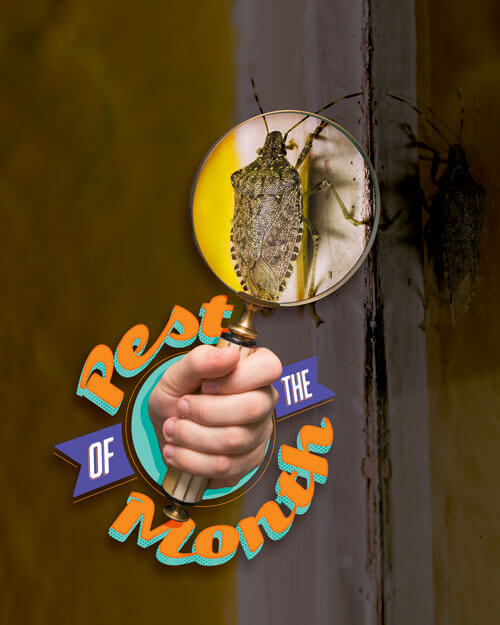 Pest of the Month: Stink Bugs
