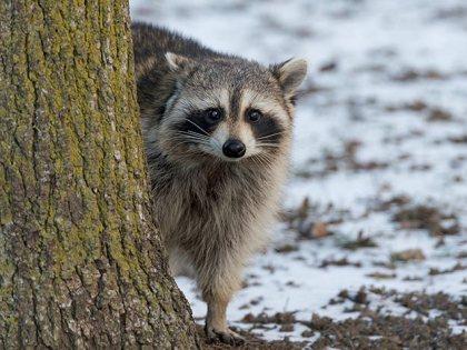 Drunk Raccoons Cause Rabies Scare