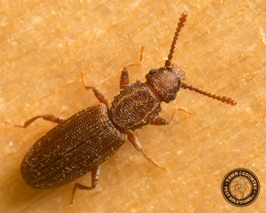 Sawtoothed Grain Beetles