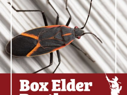 Nuisance Boxelder Bug Infestations May Become More Common Within And Near Upstate New York Homes