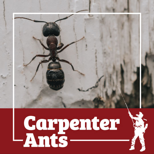 ant, ants, carpenter ant, carpenter ants, town and country, town and country pest solutions, pest, pests, rochester, syracuse, buffalo, rochester ny, syracuse ny, buffalo ny, new york, western ny, rochester exterminators, syracuse exterminators, buffalo exterminators, bed bugs, fabry, matt fabry, extermination, hire the pros, friendly, trustworthy
