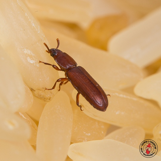 red flour beetle, grain beetle, sawtooth grain beetle, town and country, town and country pest solutions, pest, pests, rochester, syracuse, buffalo, rochester ny, syracuse ny, buffalo ny, new york, western ny, rochester exterminators, syracuse exterminators, buffalo exterminators, bed bugs, fabry, matt fabry, extermination, hire the pros, friendly, trustworthy