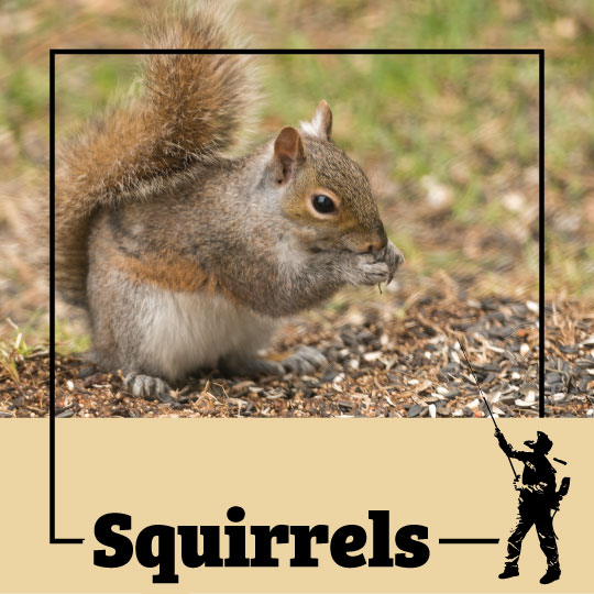 squirrel, squirrels, acorn, town and country, town and country pest solutions, pest, pests, rochester, syracuse, buffalo, rochester ny, syracuse ny, buffalo ny, new york, western ny, rochester exterminators, syracuse exterminators, buffalo exterminators, bed bugs, fabry, matt fabry, extermination, hire the pros, friendly, trustworthy