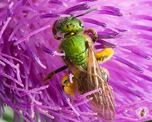 Sweat Bees