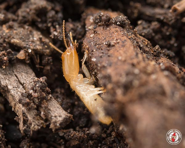 termite, termites, town and country, town and country pest solutions, pest, pests, rochester, syracuse, buffalo, rochester ny, syracuse ny, buffalo ny, new york, western ny, rochester exterminators, syracuse exterminators, buffalo exterminators, bed bugs, fabry, matt fabry, extermination, hire the pros, friendly, trustworthy