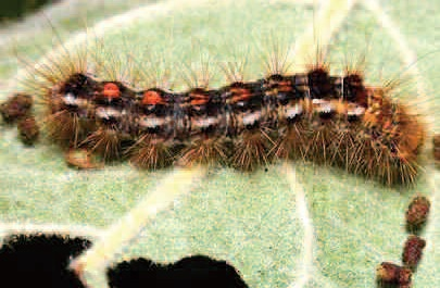 browntail moth caterpillar
