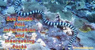 Sea Snake full information and interesting facts