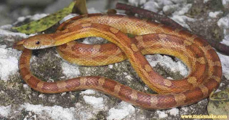 Is Rat Snake Poisonous