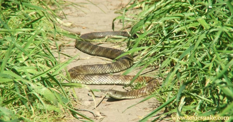 Tiger Snake 10 most venomous snakes in india