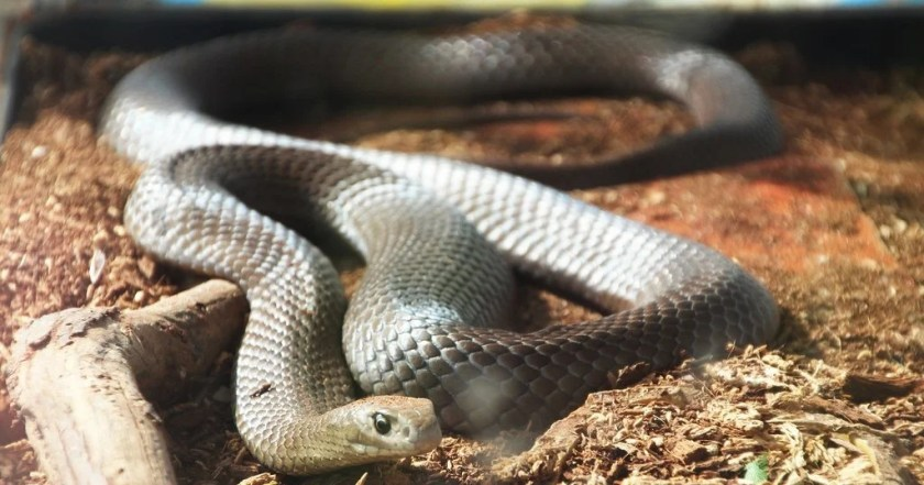 Eastern Brown Snake Most Deadliest Snake in The World