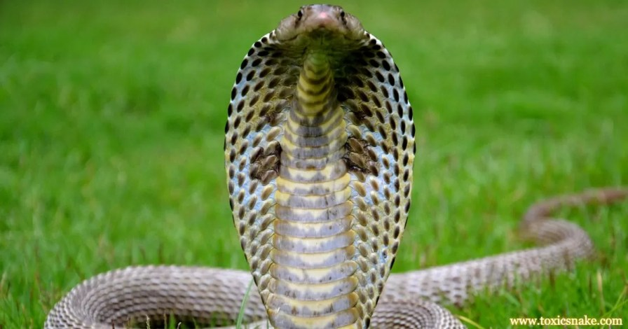 Indian Cobra 10 Most Venomous Snakes in India