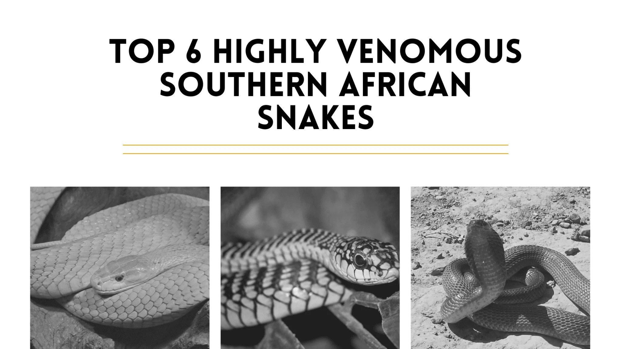 Top 6 Highly Venomous Southern African Snakes