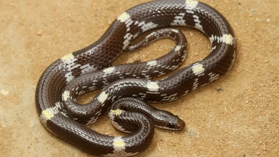 Indian wolf snake