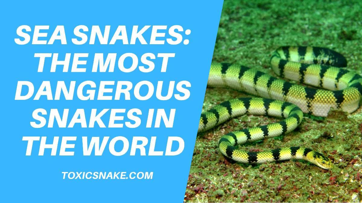 Sea Snakes: The Most Dangerous Snakes In The World