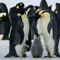 ペンギンの家族