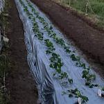 初めてのイチゴ栽培