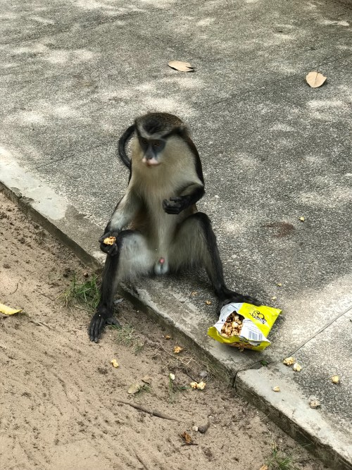 Lekki conservation center ,family day out ,where to visit in lagos,monkey eating so yummy popcorn