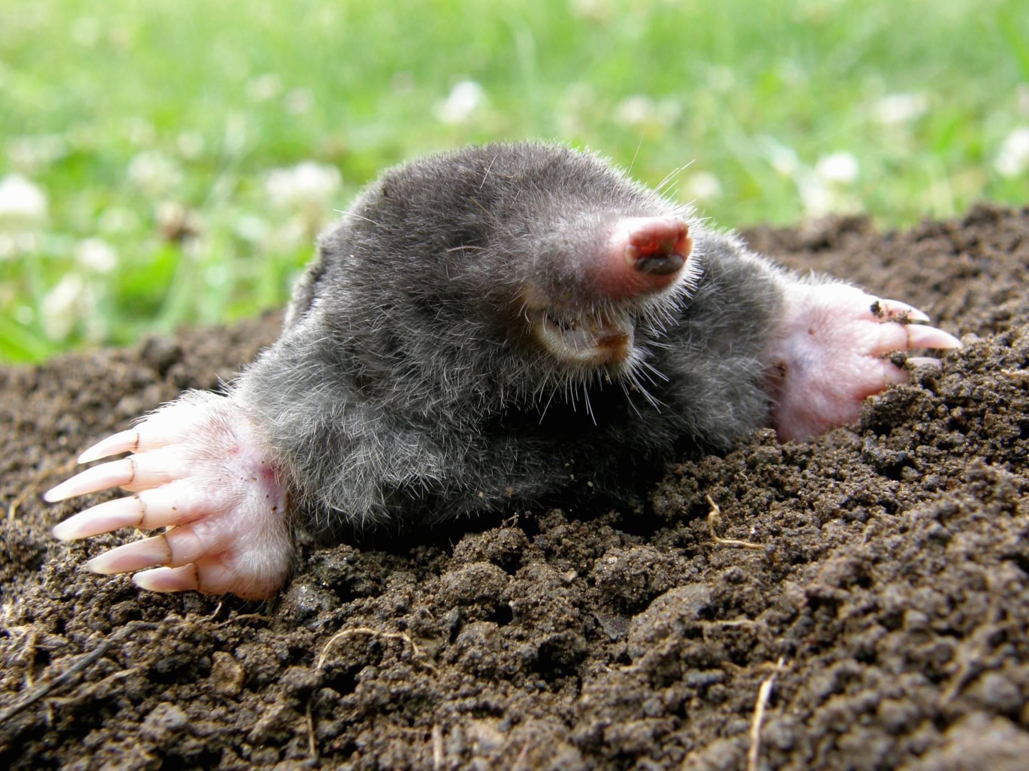 Moles Control Amp Removal Services