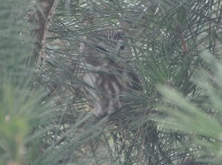 My life Saw-whet Owl, the morning after I first saw it