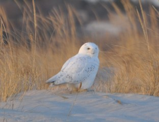 I never get tired of Snowy Owls